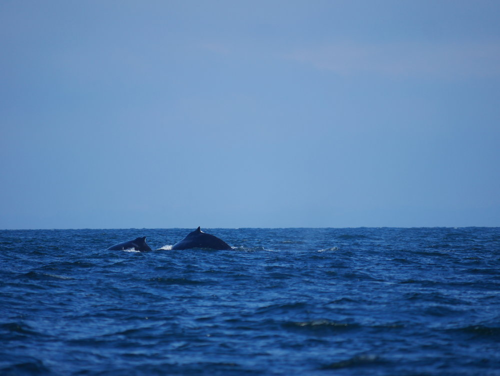 """""""Divot"""" and her calf """"Olympus"""" heading to the depths! Photo by Alanna Vivani"""