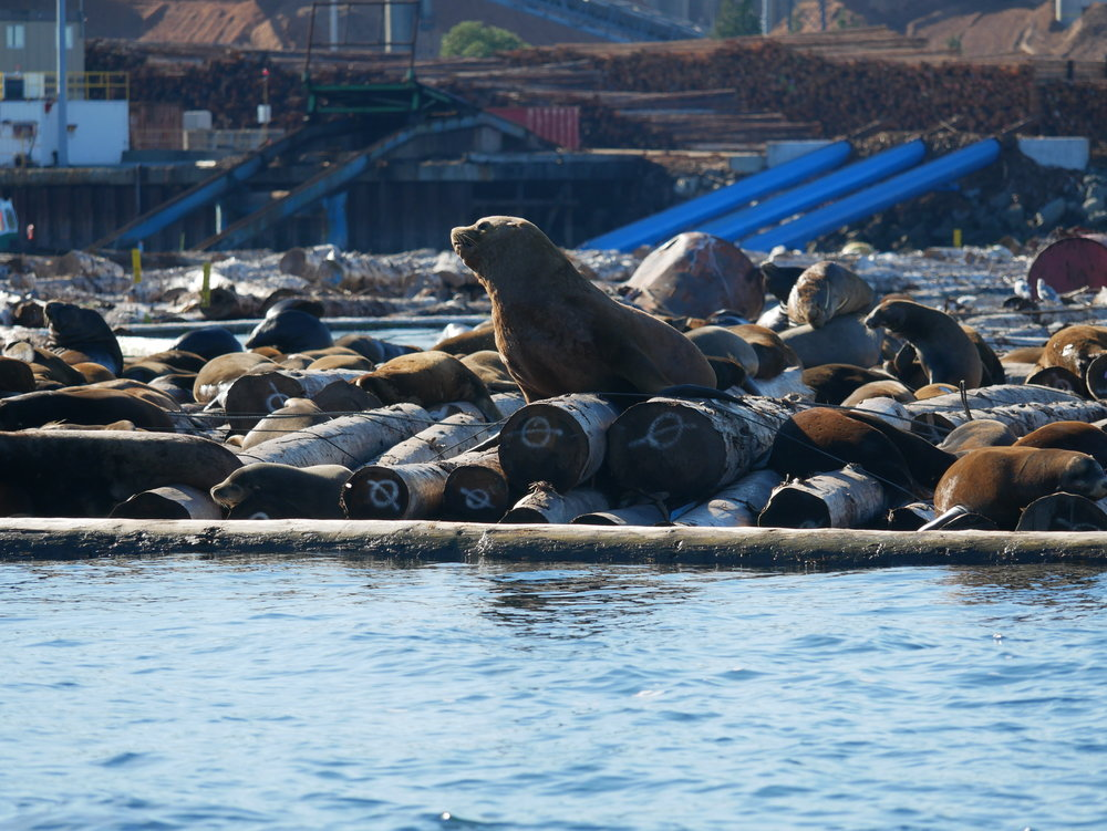 The sea lions have taken over the log booms at Harmac!