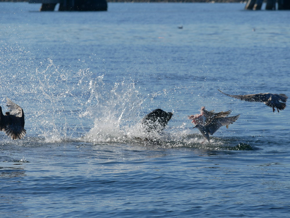 Sea lions often throw large fish around to break them up. See the massive chunk of fish flying through the air?