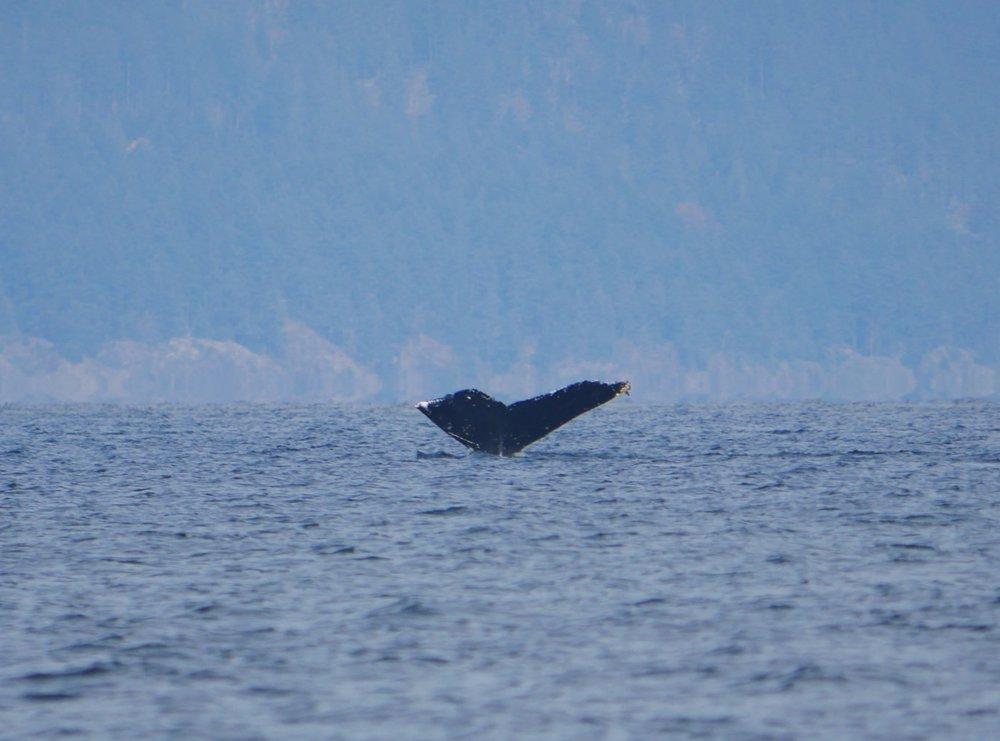 """humpback whale """"Zorro"""""""
