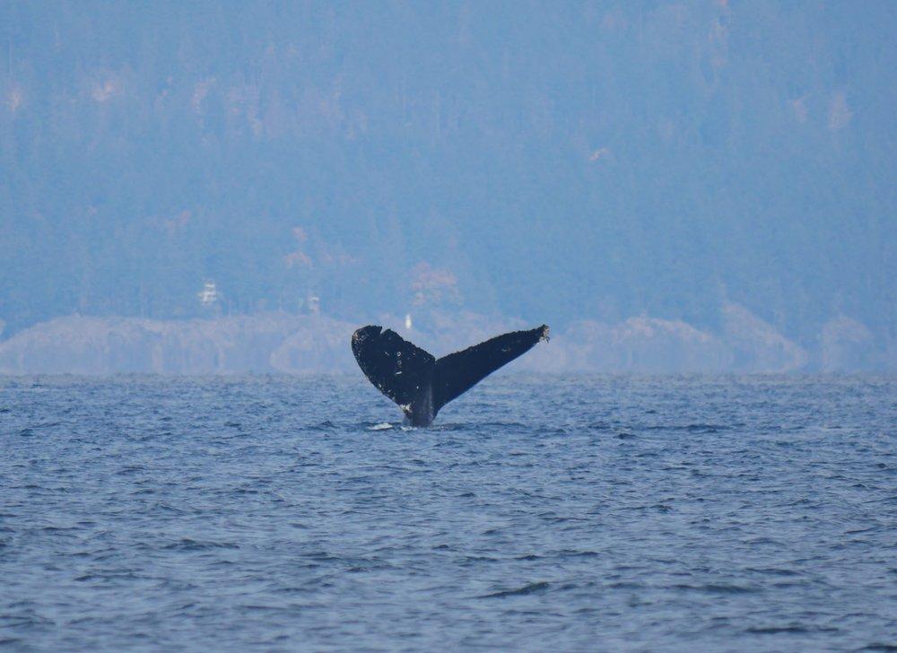 "humpback whale ""Split Fluke"""