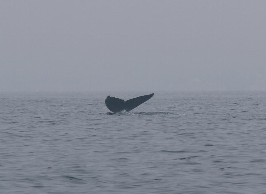 """humpback whale """"Slide"""""""