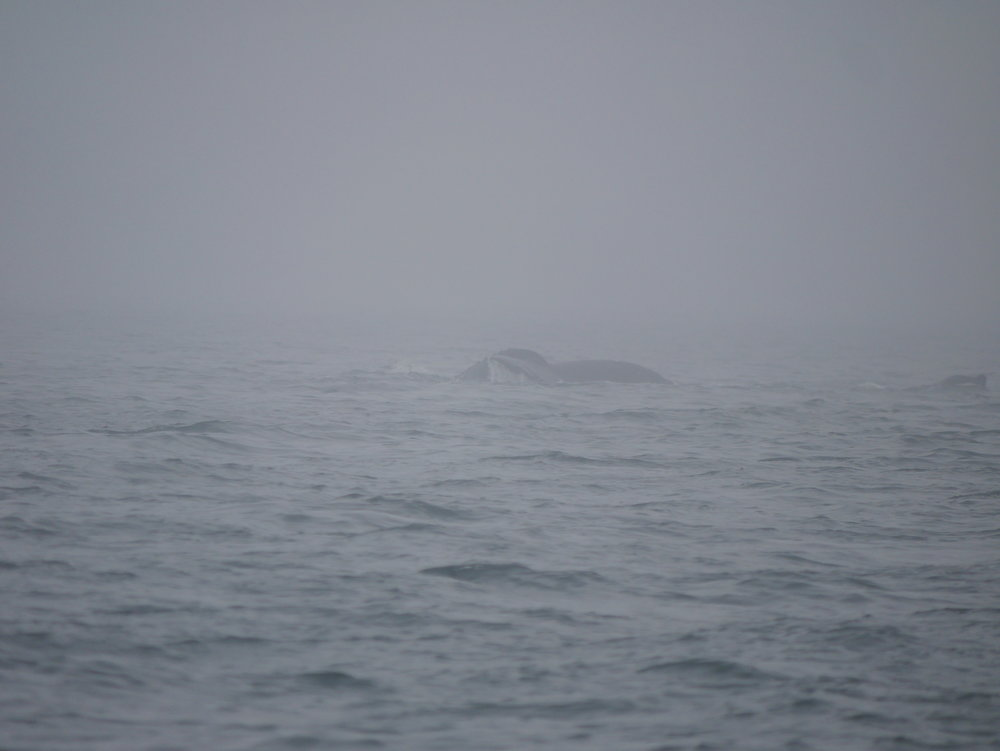 Tricky to watch whales in the middle of this fog!