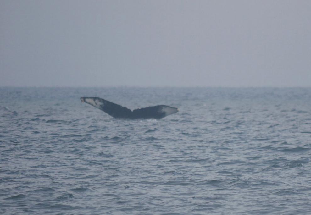 """humpback whale """"Yogi"""""""