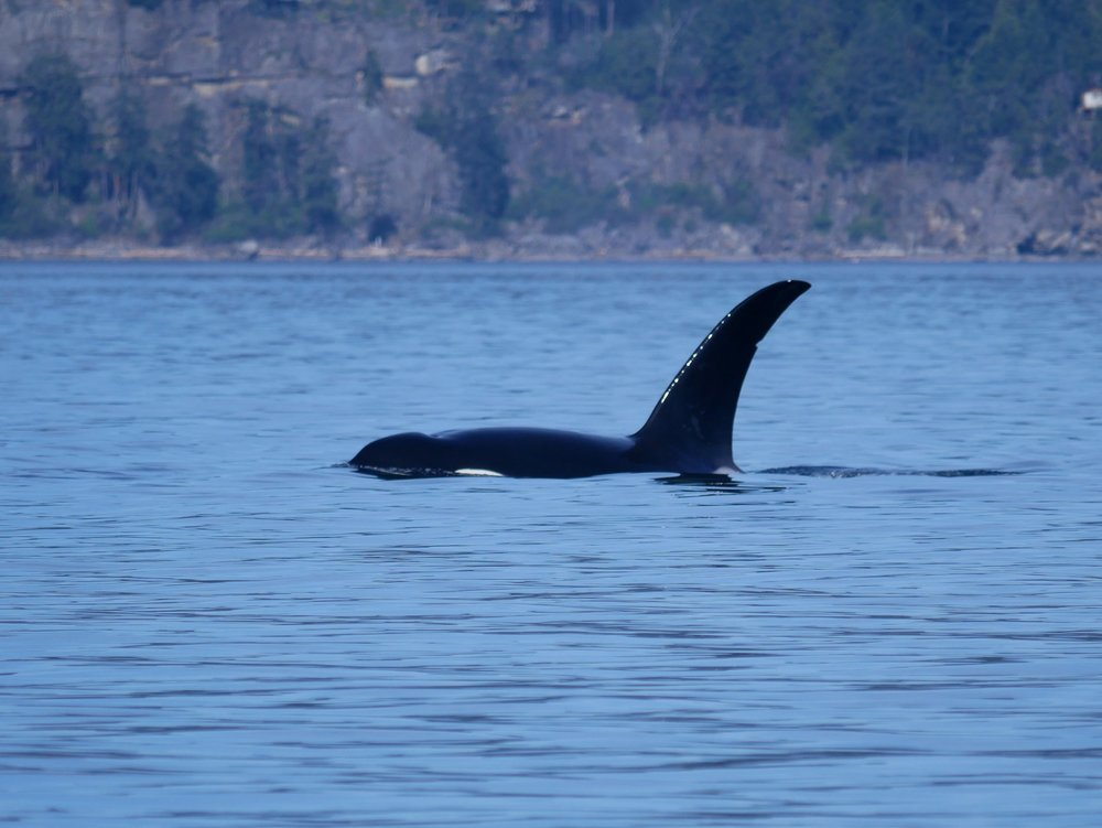 T19B, a large male with a significant left lean to his dorsal fin.