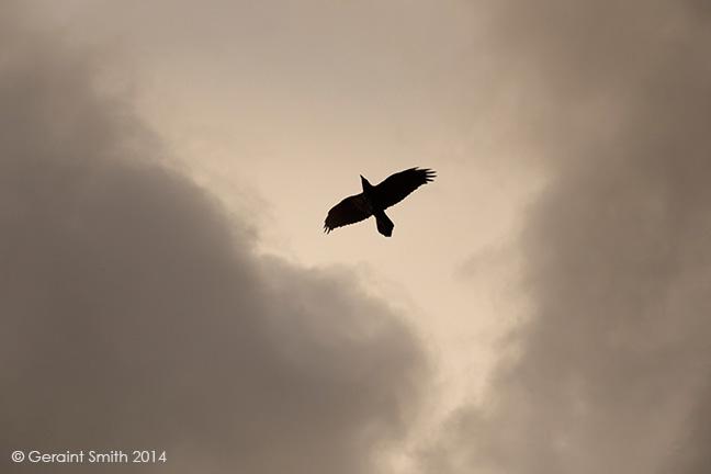 raven in flight.jpg