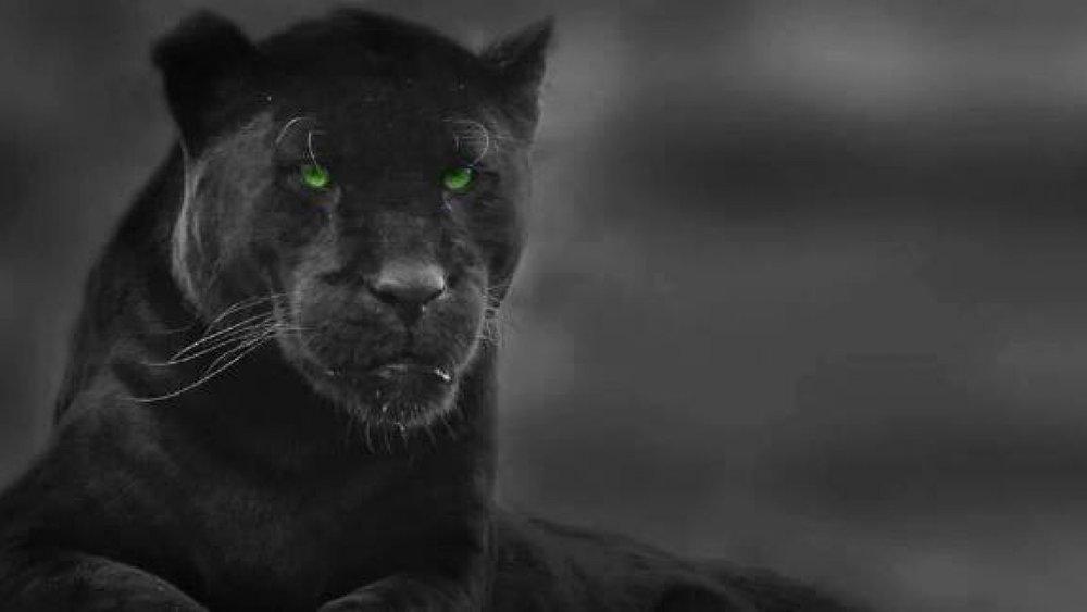 lion whsishs.jpg