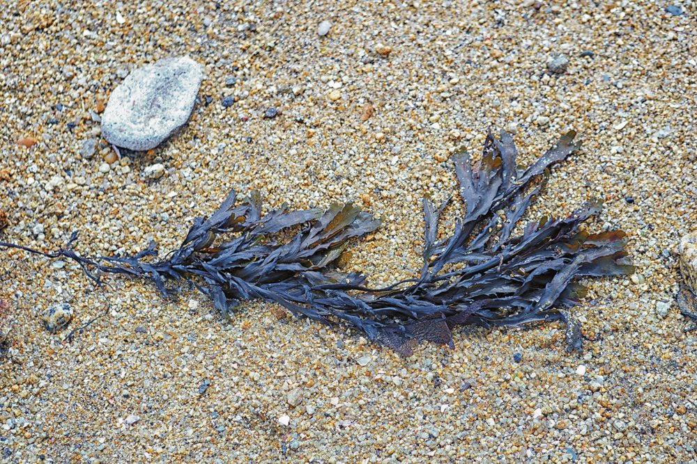 algue-sur-le-sable-.jpg