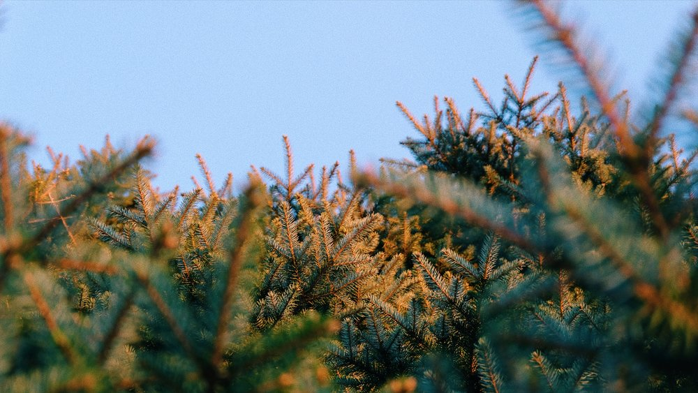 golden-hour-pine.JPG