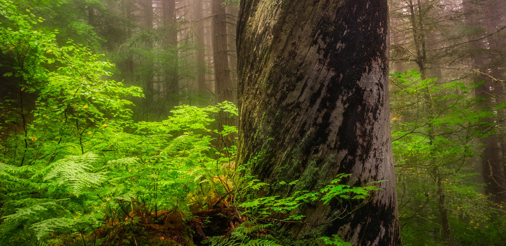 Shriners Light  is a fine art photograph captured by Jason Matias on Shriners in Washington State. It features soft green glow light in a forest with a lot of depth and earthy tones. A giant tree with white bark and black algae/moss stands in the forefront of the photograph.