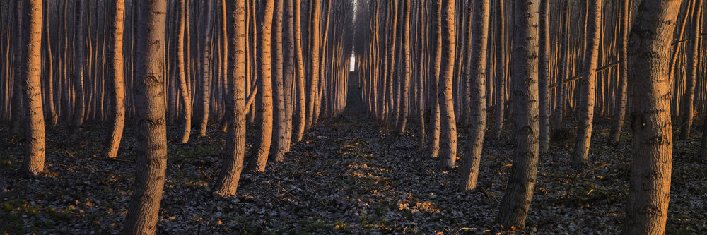 Dance is a fine art photograph of a poplar forest grove in Boardman, Oregon. Often confused for Aspen trees or Birch trees these Poplar trees grew in a curvy manner that is eye catching. At sunrise the shadows moved quickly along the tree trunks and gave the impression of motion. that is way I titled this image Dance. In this panoramic photograph captured at sunrise there is a single corridor or pathway, down the center of the image, that travels to the horizon or infinity.