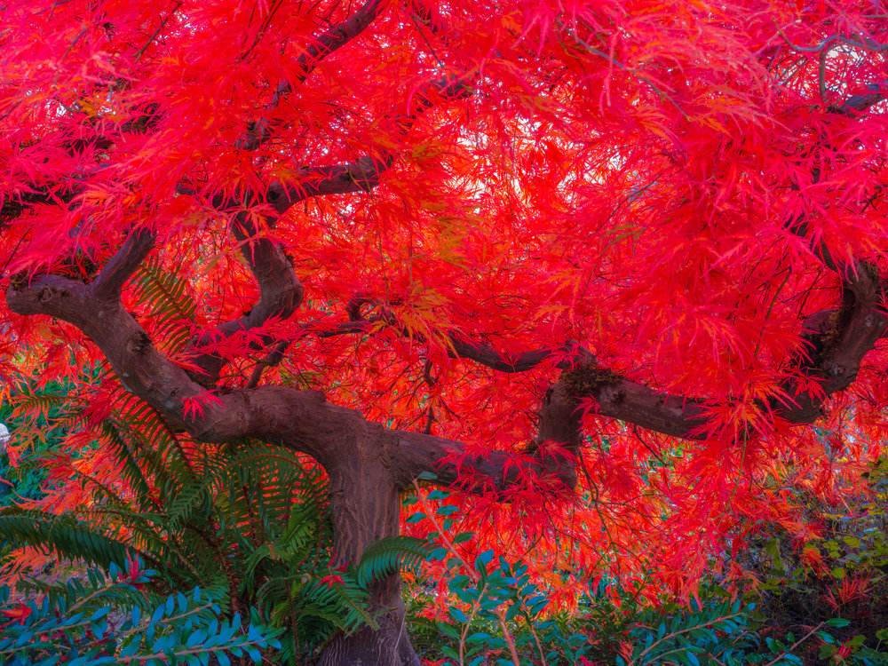 The Scarlett tree is a fine art photograph of a Japanese Maple captured from beneath during autumn. The fall colors are in full force and the tree is colored a brilliant red.