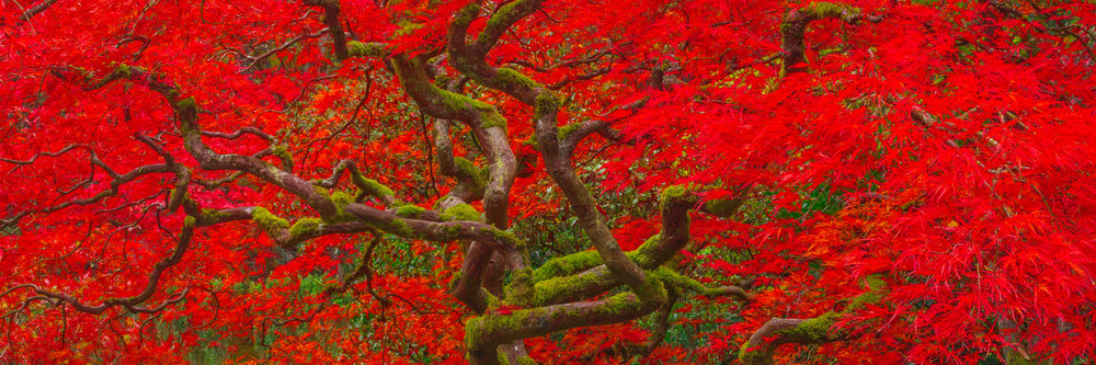 Avendasora is a fine art photograph for sale by Jason Matias. A Japanese maple captured in the full bloom of Autumn, its leaves are as red a the freshly adorned lips of a woman. So red they could be described as scarlet. The leaves have just begun to fall below the twisting branches of the Japanese maple.