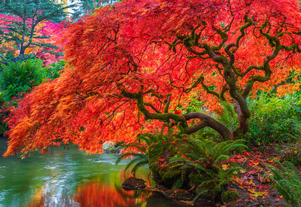 Tree of Fire is a fine art photograph for sale by Jason Matias of a Japanese Maple Tree full with vibrant autumn colors. The Japanese maple hovers over a pond and the red-orange of the leaves is reflected in the water. This is another piece added to the collection of Bellevue Fine Art.