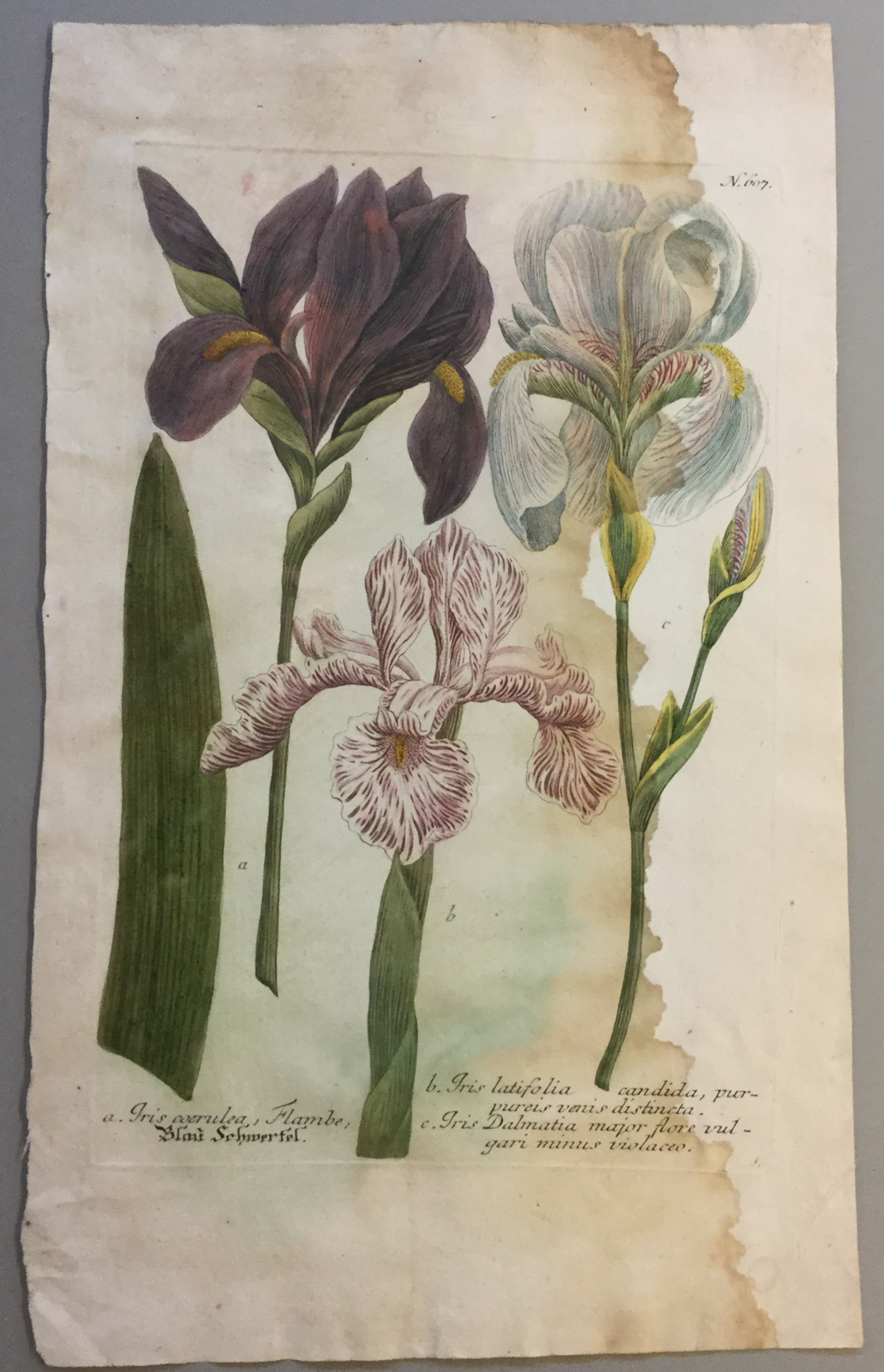 botanical print from Phytanthoza iconographia, vol. 3: Ill. 607 (J. W. Weinmann, 1742).