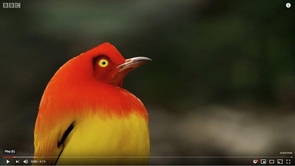 Bowerbird Mating Display