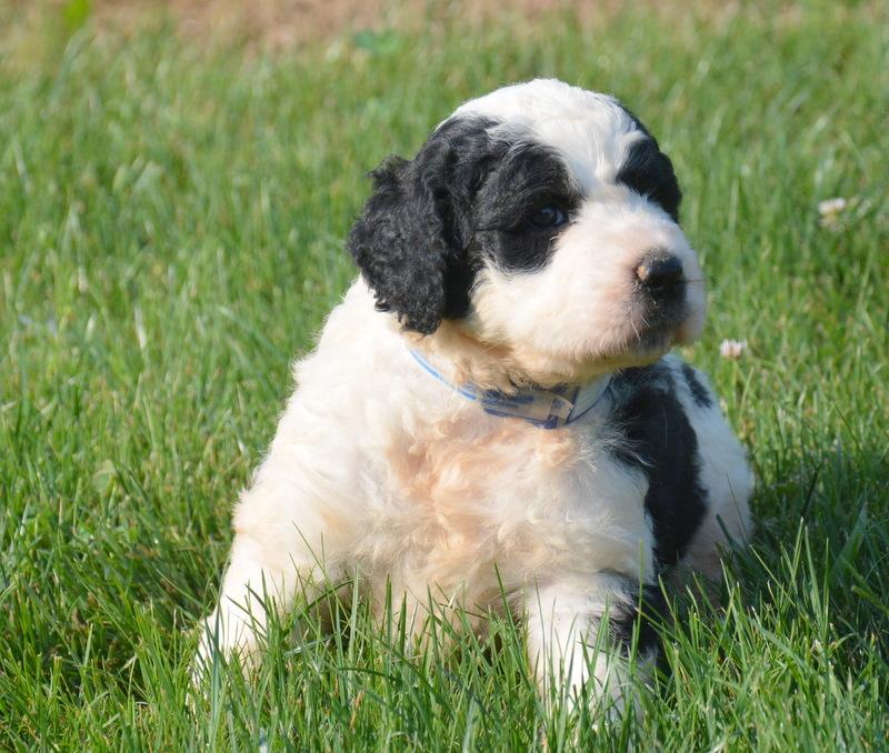 Saint-Berdoodle-puppy