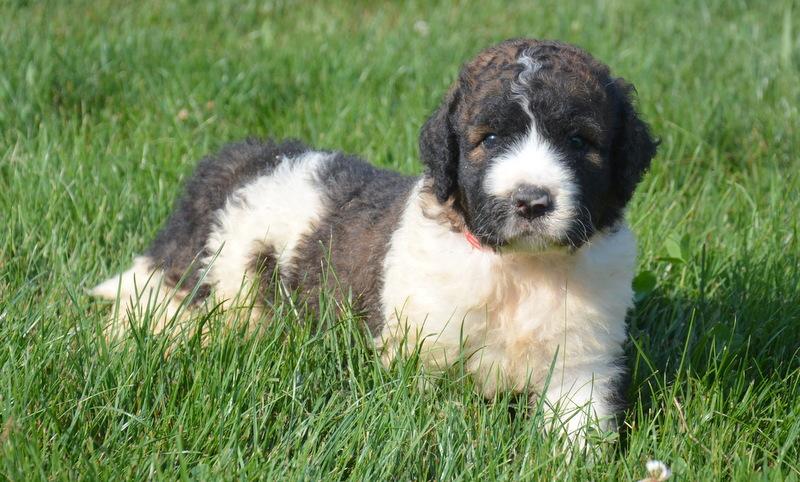SaintBerdoodle-Puppy