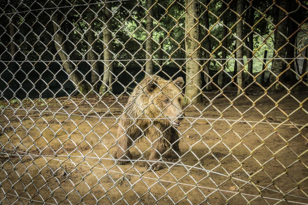 Αρκούδα φιλοξενούμενη από τον Αρκτούρο