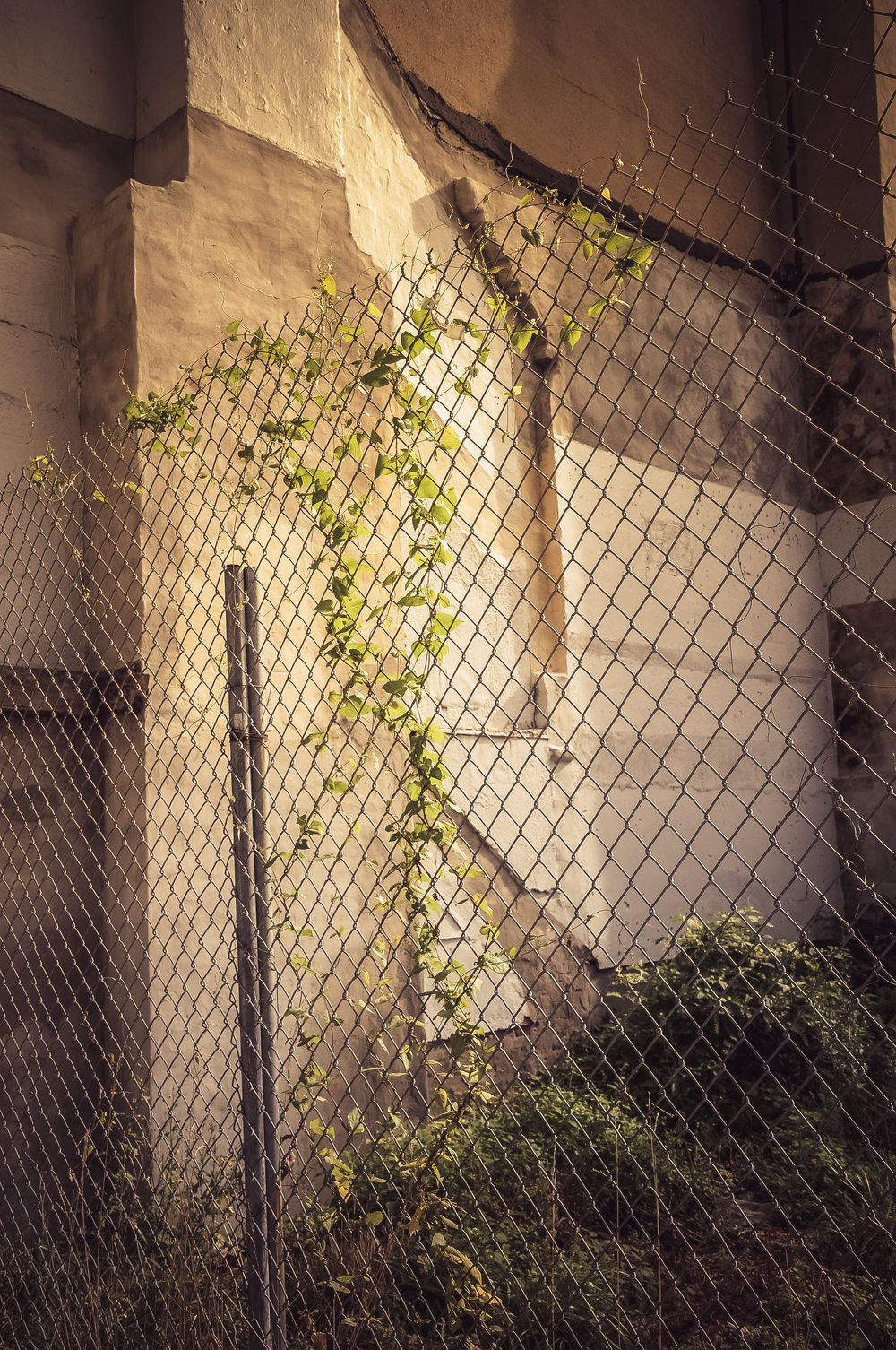 Vines in a Vacant Lot in Baltimore City Photo: Rose Anderson, August 2018