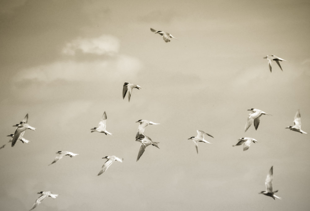 Terns in Flight Photo: Rose Anderson, 2012