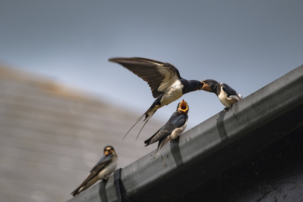 Feeding Swallows - Lough Neagh