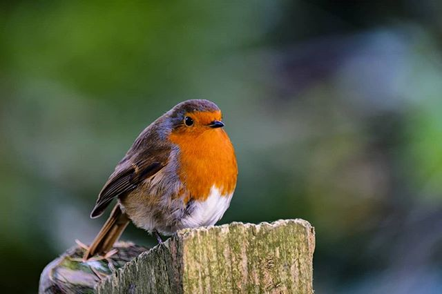 Fluffed up robin on a cold day!  This little guy was one of my most popular greetings cards at the weekend market.