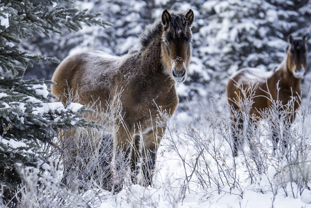 2017 Wild Horses -