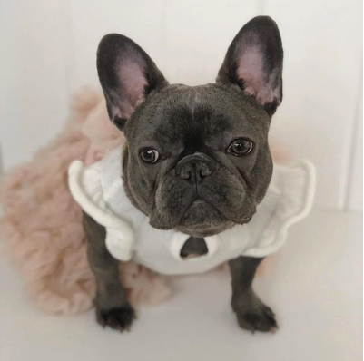 Izzy the Frenchie
