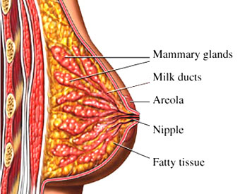 04_OS_Breast_Normal_B.jpg