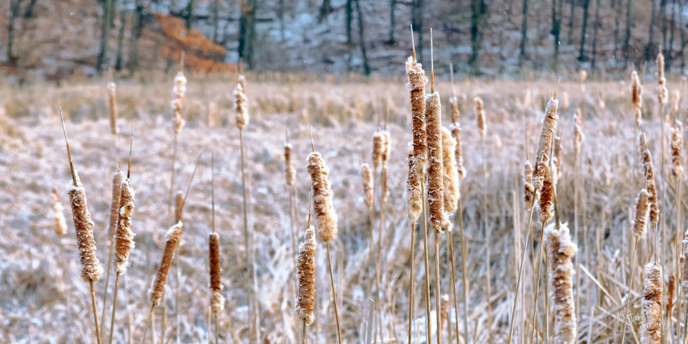 Early-Winter-Cattails_Photo_copyright_Janet_Jardine.jpg