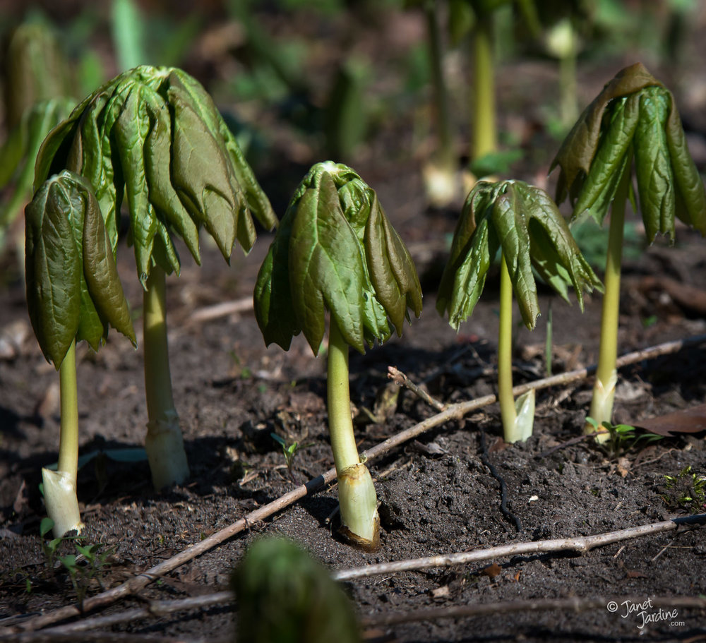 Emerging-Mayapples_Photo_copyright_Janet_Jardine.jpg
