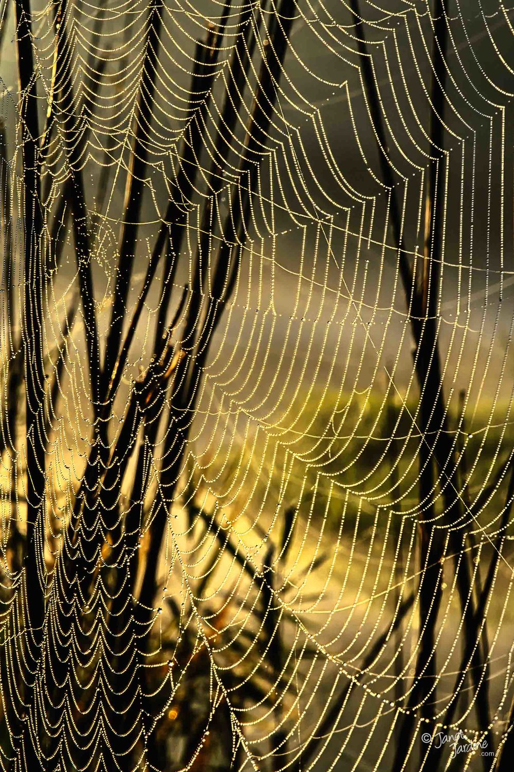 Spider-web_Photo_copyright_Janet_Jardine.jpg