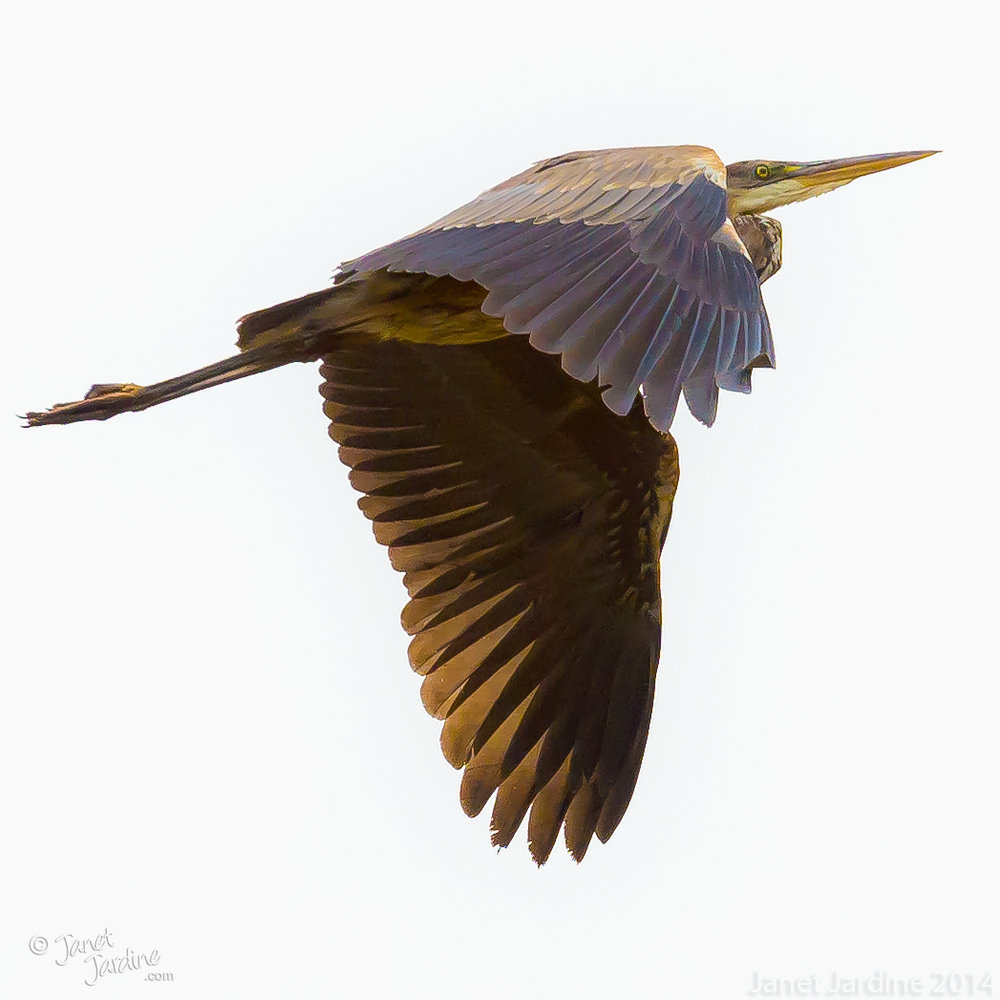 Fly-by-shooting--Great-Blue-Heron_Photo_copyright_Janet_Jardine_SquareSpace.jpg