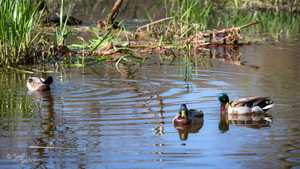 Mallards_Photo_copyright_Janet_Jardine_SquareSpace.jpg