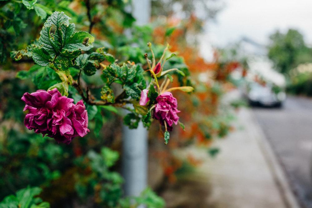 I loved smelling the roses each time I left or returned to my apartment on Háteigsvegur