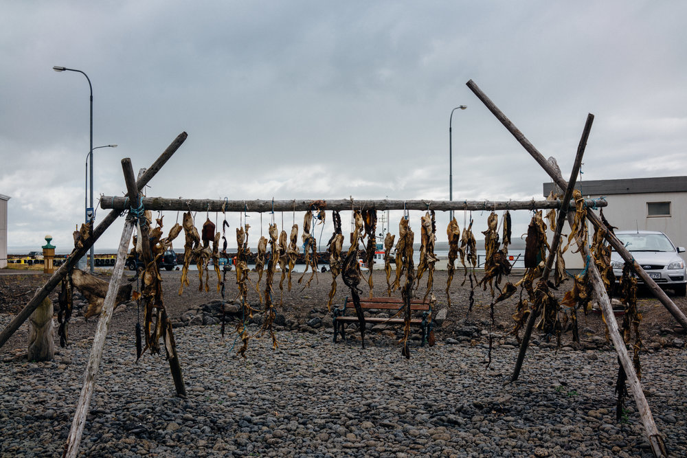 Dried Fish hanging in Hvammstangi