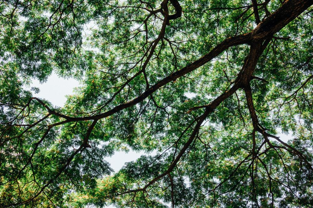 A canopy of  Albizia saman on 2nd Cross Road in Kalyan Nagar