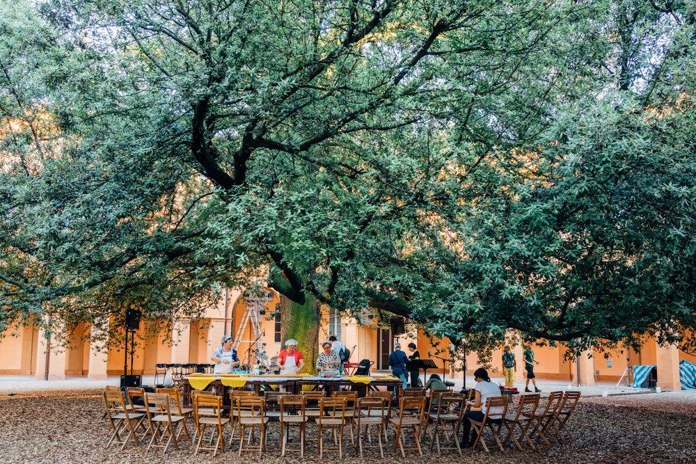 A 104-year old Holm Oak ( Quercus ilex, or leccio in Italian ) in Cortile del Leccio within the Complesso Culturale San Paolo in Modena, Italy