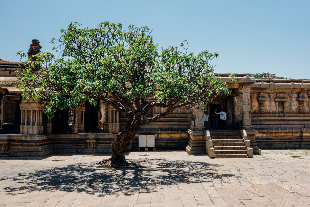 A very old frangipani tree in the Vitthala temple complex