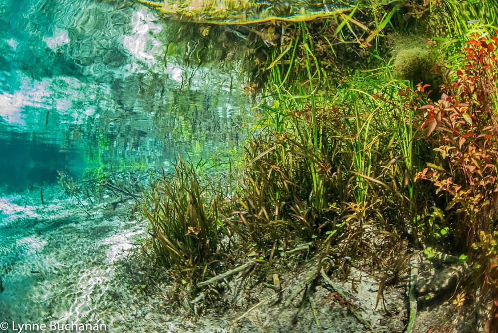 Naked Springs Vegetation with Some Algae Intrusion    Naked Springs, Blue Springs, Little Blue, and Johnson Springs in Gilchrist County are among the less impaired springs I have visited in recent years.  The park where these springs are located has been privately owned since 1958 and is in a relatively undeveloped area.  The levels of nitrates and phosphates are lower than in other springs and there is less algae and invasive vegetation.  The surface of the water is not filled with invasive aquatics that block out the light, so there is more variety in the grasses and vegetation and the springs are more colorful from an aesthetic perspective.  The biodiversity of native vegetation in turn leads to more turtles, snails, and fish.  Manatees are sometimes spotted entering Blue Springs from the Santa Fe River.