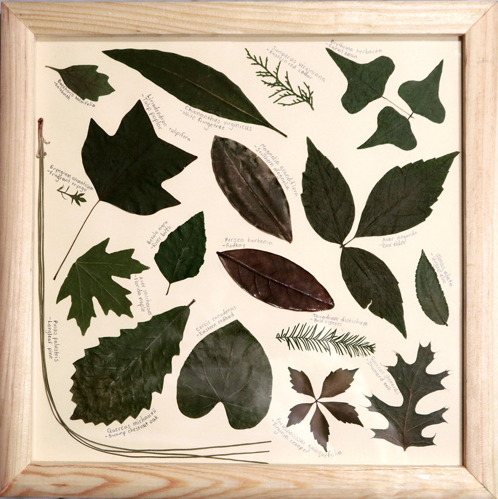 Framed Native Leaves collected from various locations on UF's campus