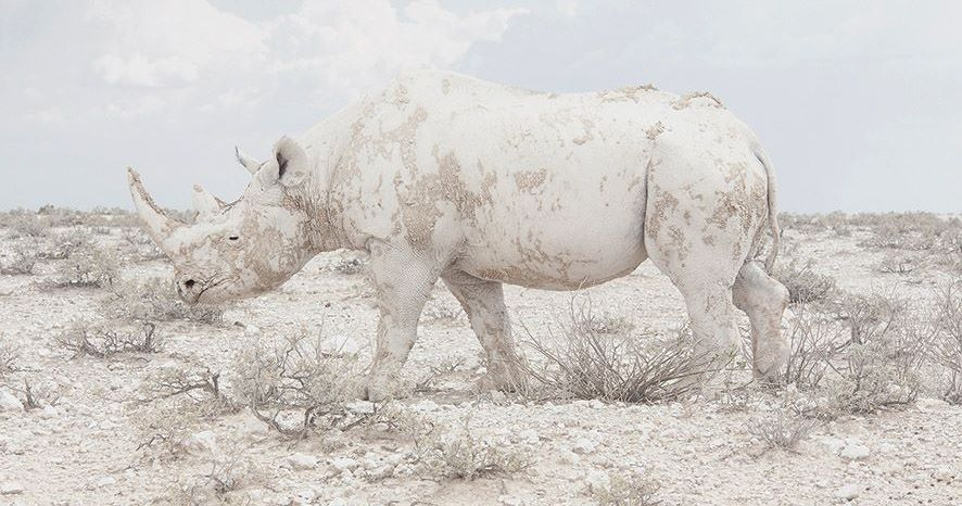 "Maroesjka Lavigne, ""White Rhino, Namibia,"" from the series ""Land of Nothingness,"" 2015, courtesy of Robert Mann Gallery, New York"