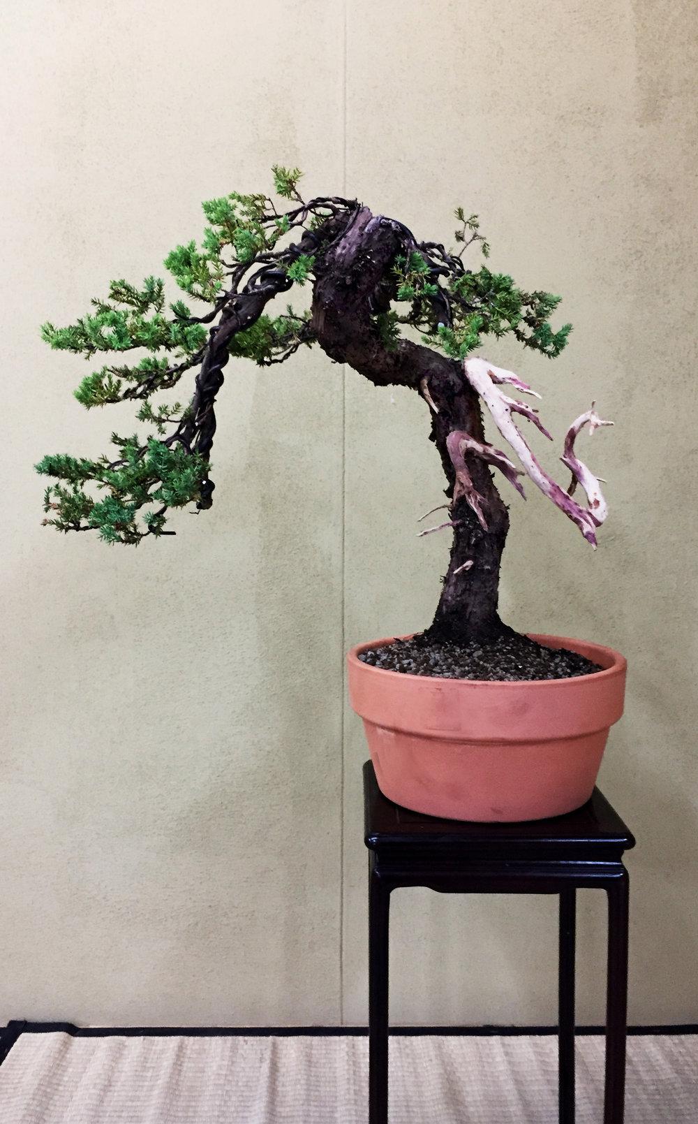 Bonsai for Sale 2017