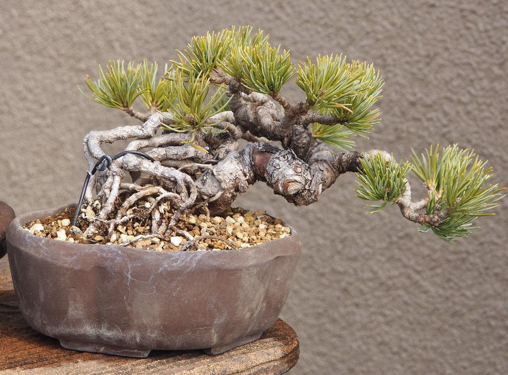 Japanese White Pine bonsai 2017.JPG