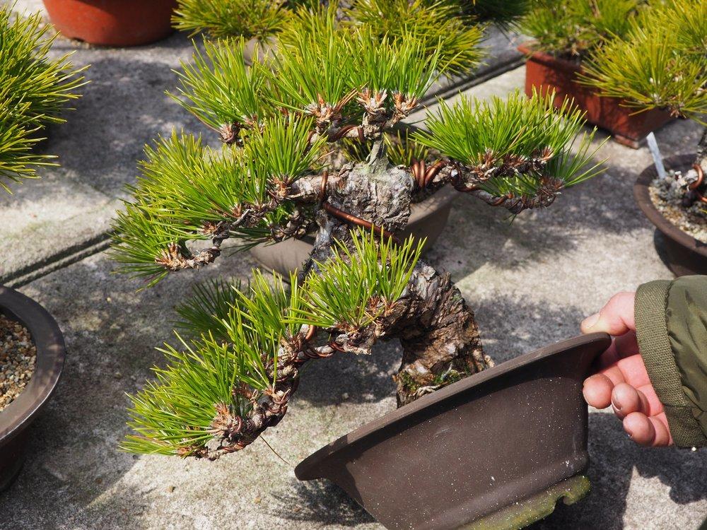 Japanese Black Pine Bonsai.JPG