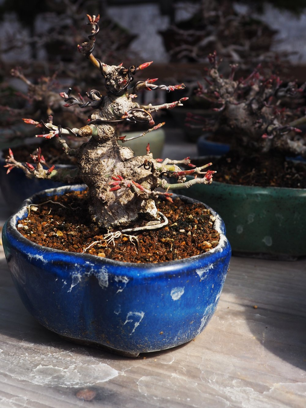 bonsai in blue pot.jpg