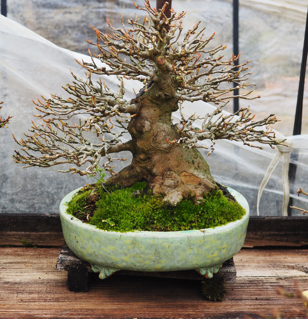 Trident Maple Bonsai  2017.jpg