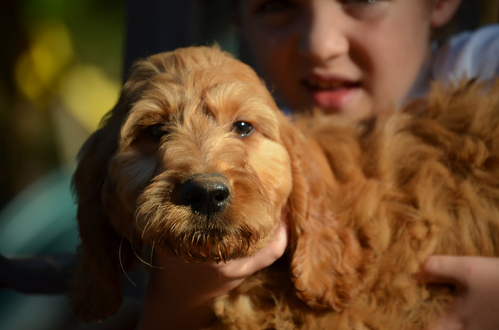 apricot-Irish-doodle-puppy (2).JPG