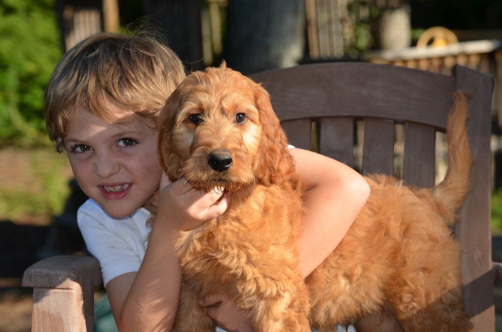 apricot-Irish-doodle-puppy (5).JPG